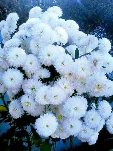 White Flowers Quotes Shayari Story Poem Jokes Memes On Nojo