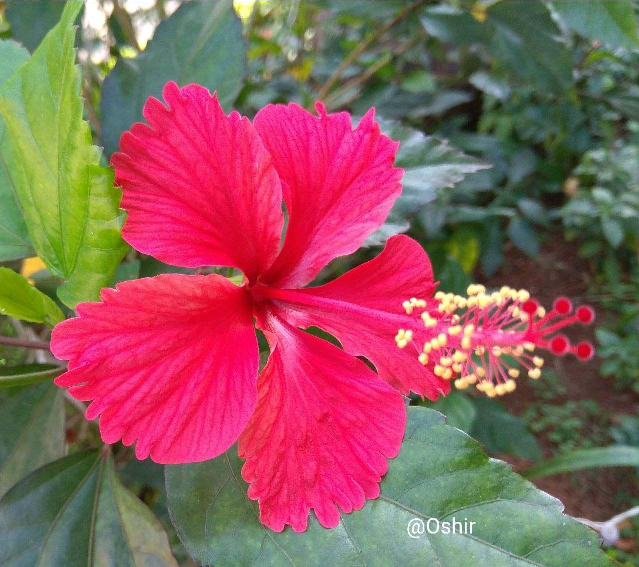 Amazingly Beautiful Hibiscus Just Clicked Good M English Noj
